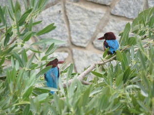 White-throated Kingfisher pair.