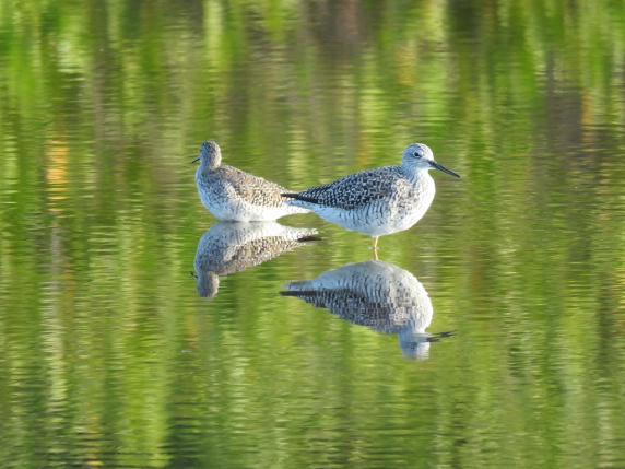 Lesser and Greater Yellowlegs