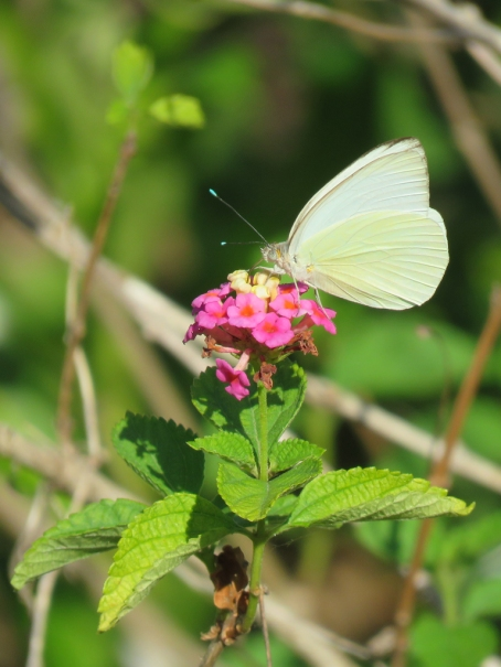 Great Southern White butterfly on Lantana